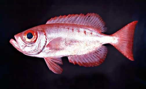 Priacanthus hamrur. matapula. goggle-eye - fishes of National Park of American Samoa