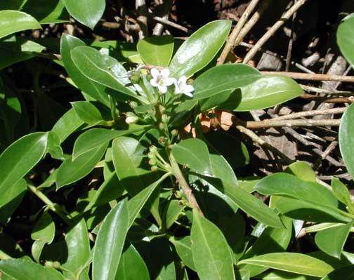 Myoporum Sandwicense Myoporum Sandwicense Naio