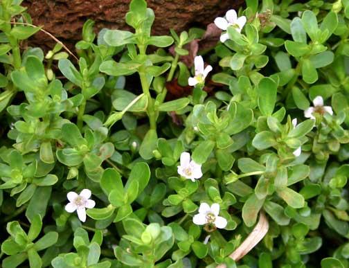 bacopa monnieri 39 ae 39 ae water hyssop higher plants and ferns of haleakala national park. Black Bedroom Furniture Sets. Home Design Ideas