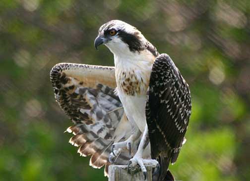 Osprey. Pandion haliaetus - Birds of Kaloko-Honokohau ...