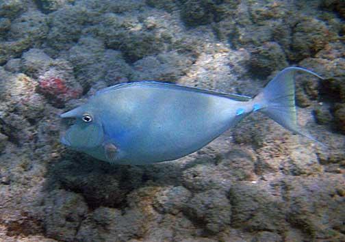 naso unicornis kala bluespine unicornfish fishes of