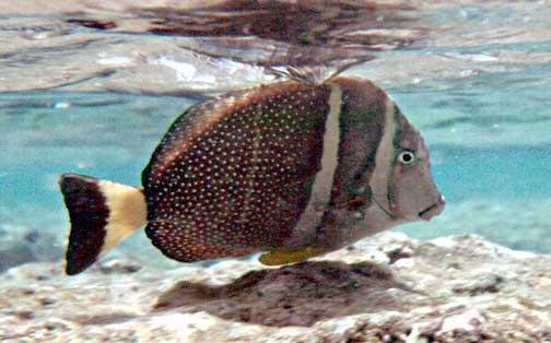 acanthurus guttatus api whitespotted surgeonfish