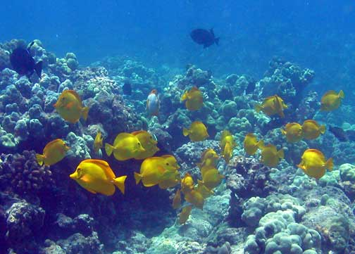 zebrasoma flavescens lauipala yellow tang fishes of