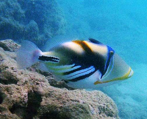 Rhinecanthus aculeatus humuhumu nukunuku apua 39 a lagoon for Hawaiian fish names and pictures