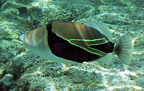 Photo scanner humuhumu nukunuku apua a for Edible hawaiian fish