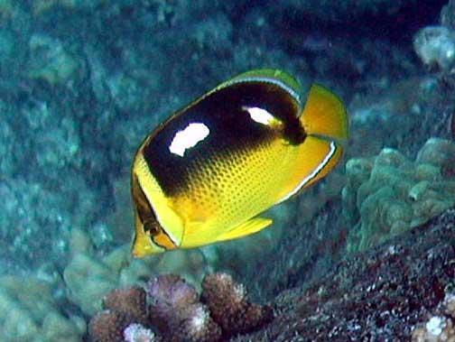 Chaetodon quadrimaculatus lauhau fourspot butterflyfish for Fish species hawaii