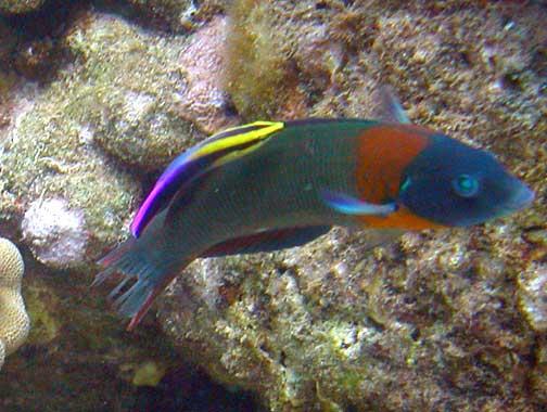 Thalassoma duperrey hinalea lauwili saddle wrasse for Hawaiian reef fish identification