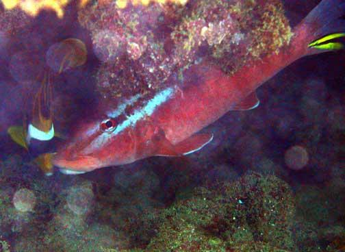 Parupeneus porphyreus kumu whitesaddle goatfish fishes for Kumak s fish