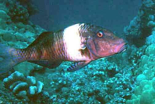 Parupeneus multifasciatus moano manybar goatfish for Edible hawaiian fish