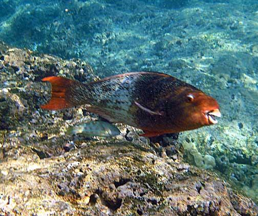 Scarus rubroviolaceus palukaluka ember parrotfish for Hawaiian fish names