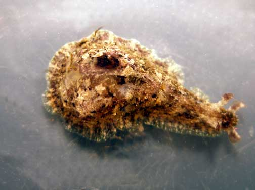 dolabrifera dolabrifera kualakai common sea hare