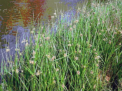 Cyperus laevigatus - Wikispecies
