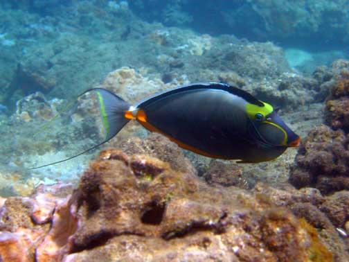 Naso hexacanthus kala lolo sleek unicornfish fishes of for Fish species hawaii