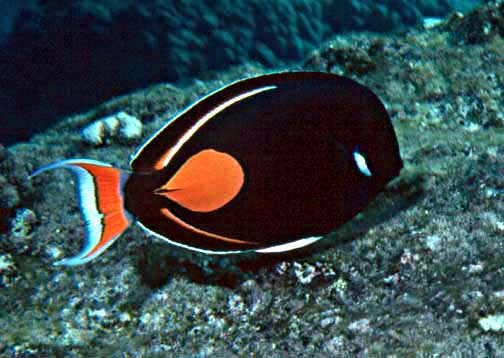 Acanthurus achilles paku 39 iku 39 i achilles tang fishes of for Hawaiian fish names and pictures