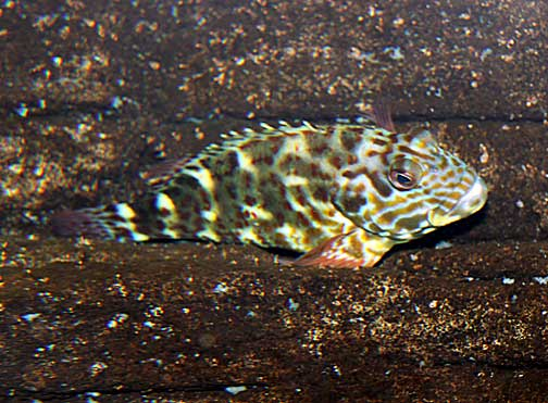 Cirrhitus Pinnulatus Po Opa A Stocky Hawkfish Fishes