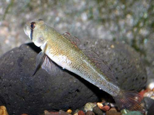 Stenogobius hawaiiensis o 39 opu naniha freshwater goby for Freshwater goby fish