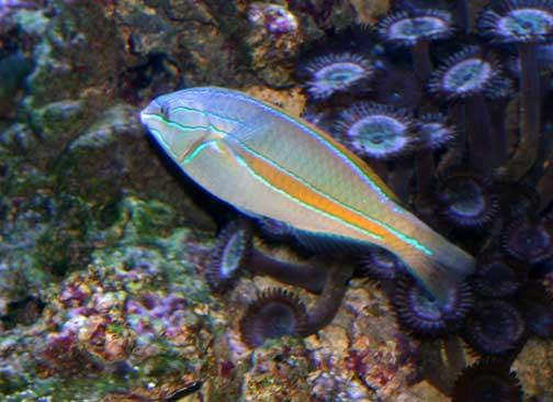 Stethojulis balteata. 'omaka. belted wrasse - Fishes of Kalaupapa National Historical Park