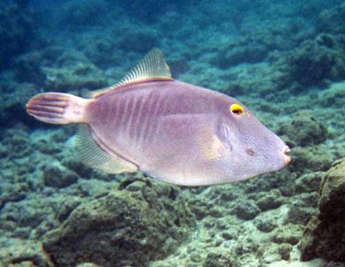 Cantherhines dumerili pa umalo barred filefish fishes for Kumak s fish