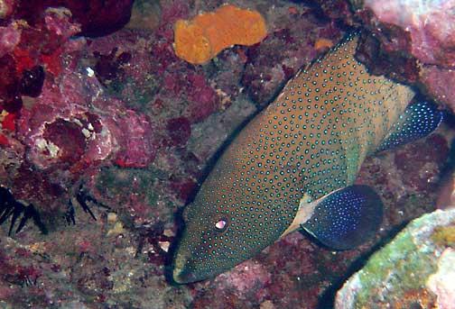 Cephalopholis argus roi peacock grouper fishes of for Kumak s fish