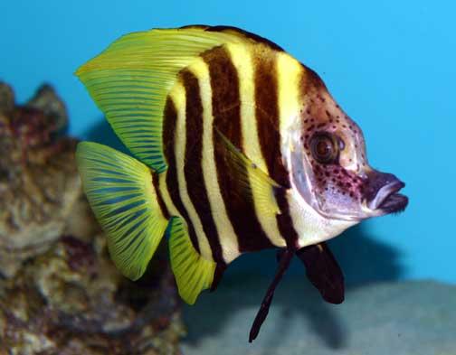 evistias acutirostris whiskered armorhead fishes of