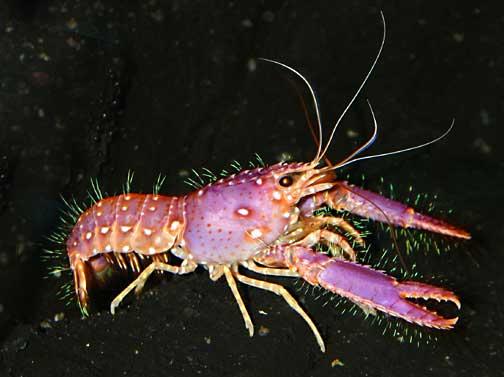 Enoplometopus occidentalis. red reef lobster - Marine Invertebrates of Kalaupapa National ...