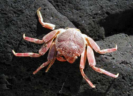 Grapsus tenuicrustatus. 'a'awa. lightfoot crab - Marine Invertebrates of Kalaupapa National ...