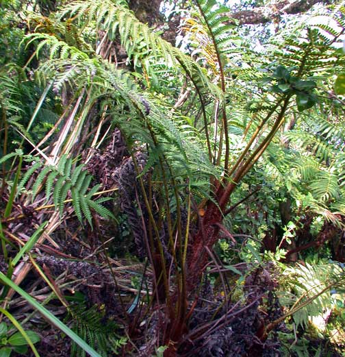 Tropical garden plants - Fern Higher Plants And Ferns Of Kalaupapa And The North Shore Cliffs