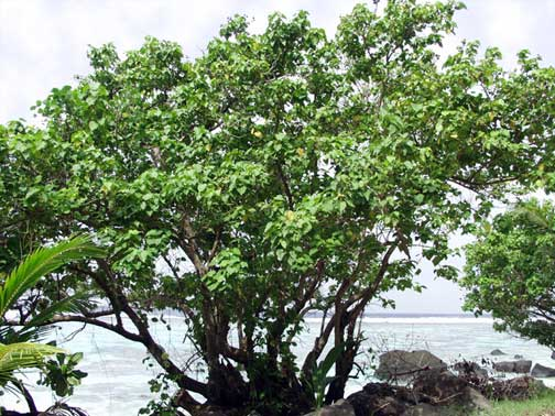 Hibiscus Tiliatus Fau Sea Hibiscus Higher Plants Ferns Of The