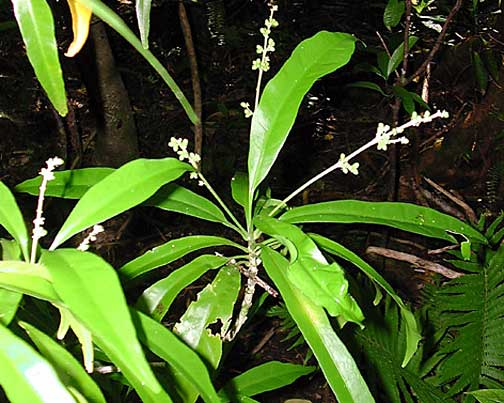 Euodia Hortensis Usi Higher Plants Amp Ferns Of The