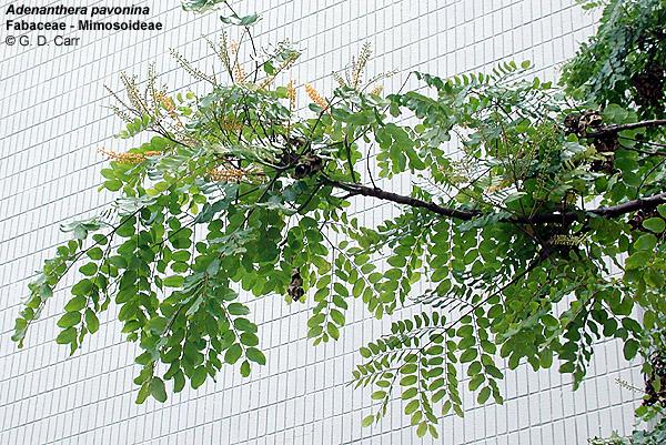 University of hawaii campus plants uh botany mightylinksfo