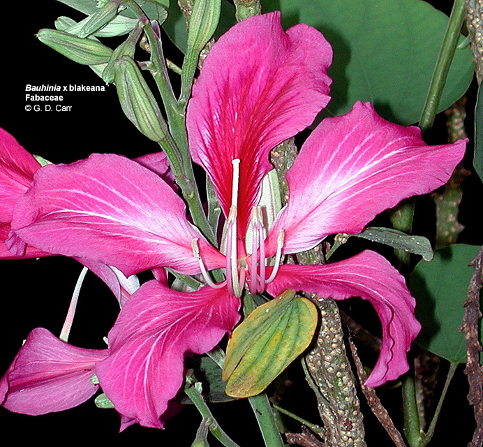 Bauhinia X Blakeana Hong Kong Orchid Tree Note The Bilateral Symmetry Of Flower And Position Posterior Petal Which Is Diffe In Size