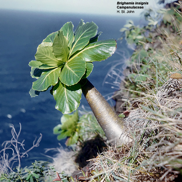 brighamia insignis  cabbage on a stick   brighamia citrina