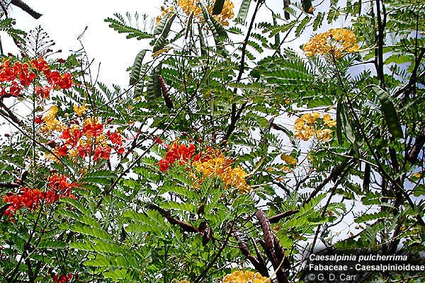 University of hawaii campus plants uh botany prickly shrub or small tree from the west indies with finely divided pinnate leaves the flowers showy red with yellow margins or all yellow mightylinksfo