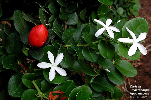 University of hawaii campus plants uh botany dense shrub good hedge plant from s africa with sharp twice forked spines white star like flowers and red ovoid edible fruits one to two inches mightylinksfo