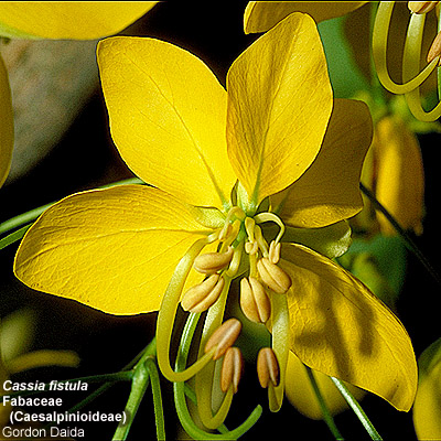 Flowering plant families uh botany cassia fistula golden shower tree notice the posterior petal innermost and three stamens reduced to staminodes ccuart Choice Image