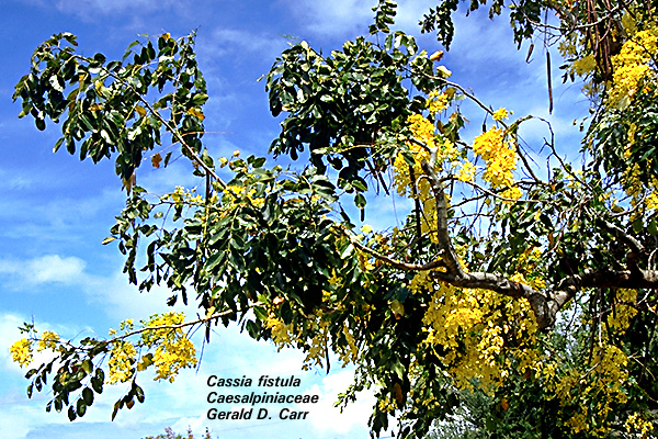 University of hawaii campus plants uh botany cassia fistula caesalpiniaceae golden shower tree tree from india with showy pale yellow flowers location gilmore ewa side of kuykendall wist hall mightylinksfo