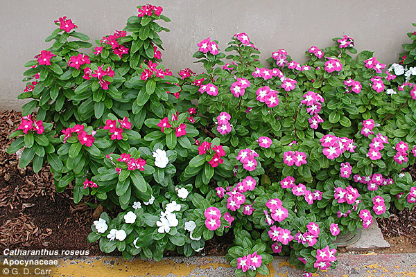 Image gallery periwinkle perennial for Perennial ground cover with pink flowers