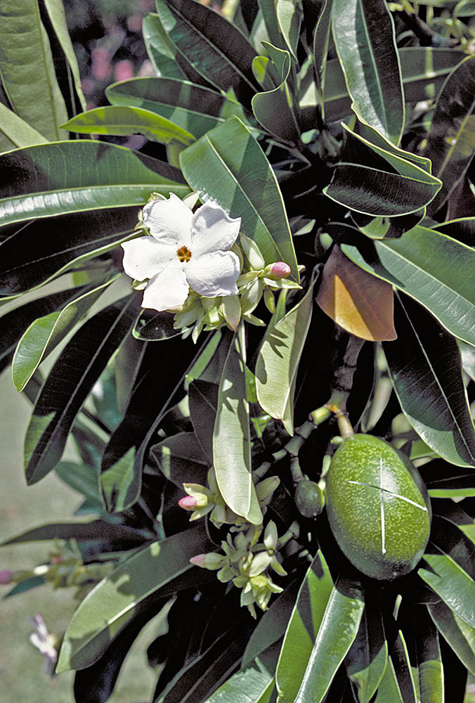 University of hawaii campus plants uh botany small tree from east africa and madagascar with fragrant yellow to reddish throated star shaped tubular white flowers and large globose to ovoid fruits mightylinksfo