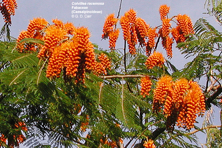 Large Tree From Madagascar With Pinnate Leaves And Very Conuous Cylindrical Or Cone Shaped Cers Of Bright Orange Flowers That Are Red