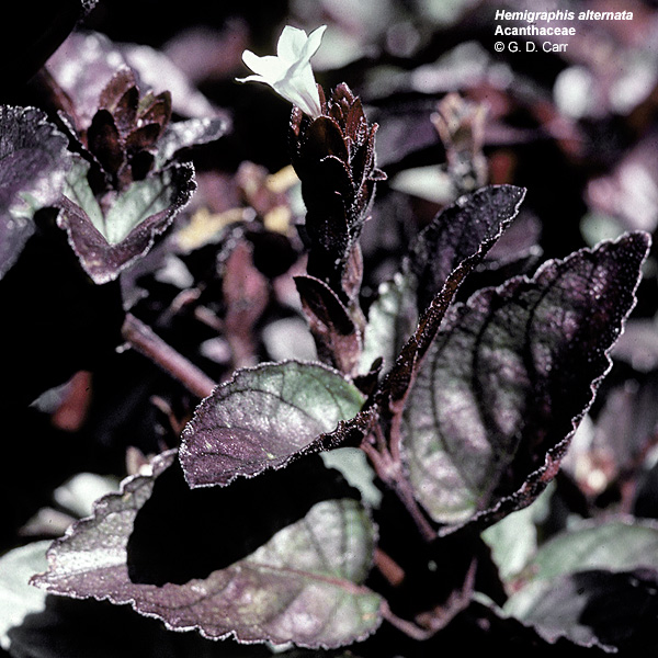 Hemigraphis Alternata Metal Leaf This Common Ground Cover Has Purplish Bracts That Are About As Conuous The Flowers