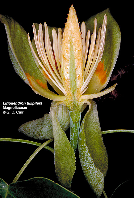 Liriodendron Tulipifera Flower Liriodendron tulipifera  tulip