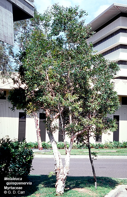 Cajeput Tree: University Of Hawaii Campus Plants, UH Botany