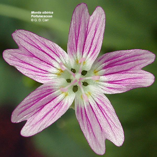 Portulacaceae - Fameflower -- Discover Life
