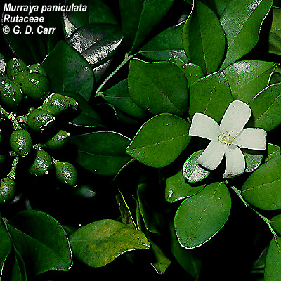 Shrubs to grow in florida murraya paniculata rutaceae mightylinksfo Images