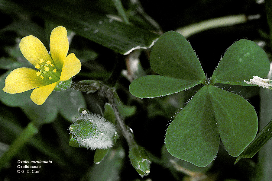 Small Herb From Europe With Clover Like Leaves And Yellow Flowers Used Medicinally By Hawaiians Or In Some Countries As A Flavoring But Large