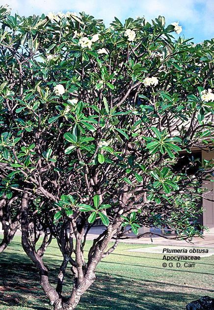 University of hawaii campus plants uh botany small ornamental tree from w indies with fragrant white flowers popular for leis location makai of pope greenhouses mauka of jefferson hall mightylinksfo