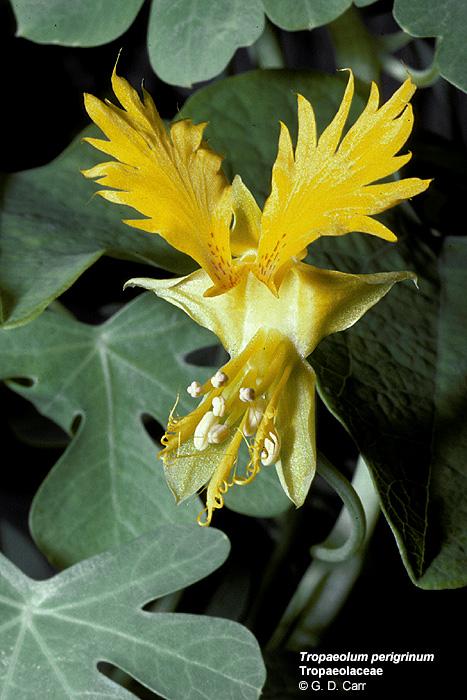 Kwiaty karminowe pojawiaj105 si119 w maju i czerwcu
