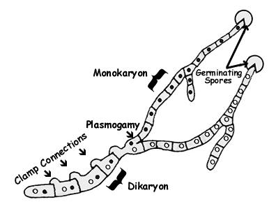 Dikaryolization2 mushroom life cycle