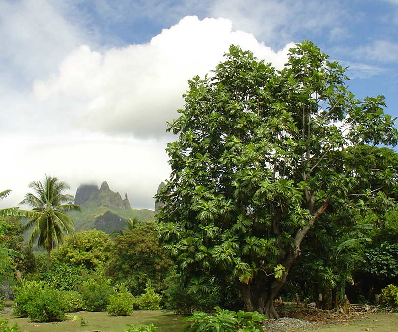Breadfruit on Ua Pou - Marquesas Islands Mark Merlin