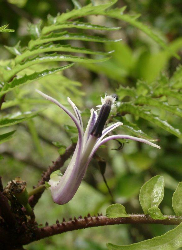 Cyanea grimesiana ssp. obatae - END